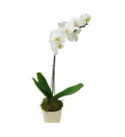 phalaenopsis_orchid