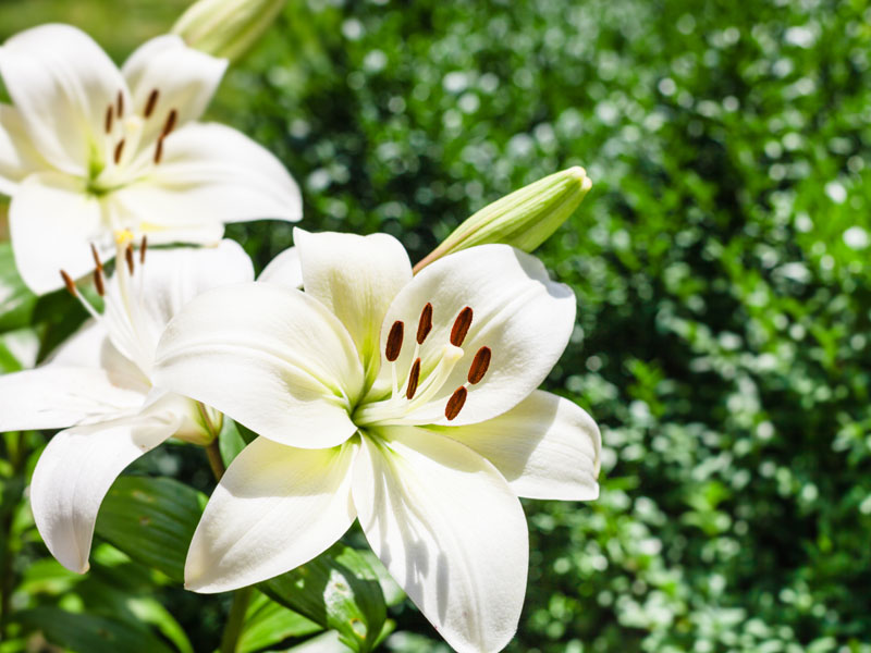guide to funeral flowers - lilies