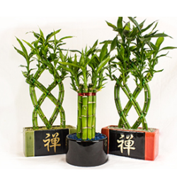 SF_LUCKY BAMBOO
